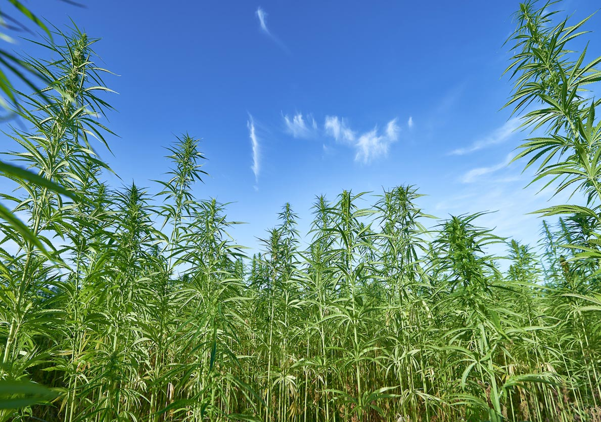 Natural-Hemp-Production-Image